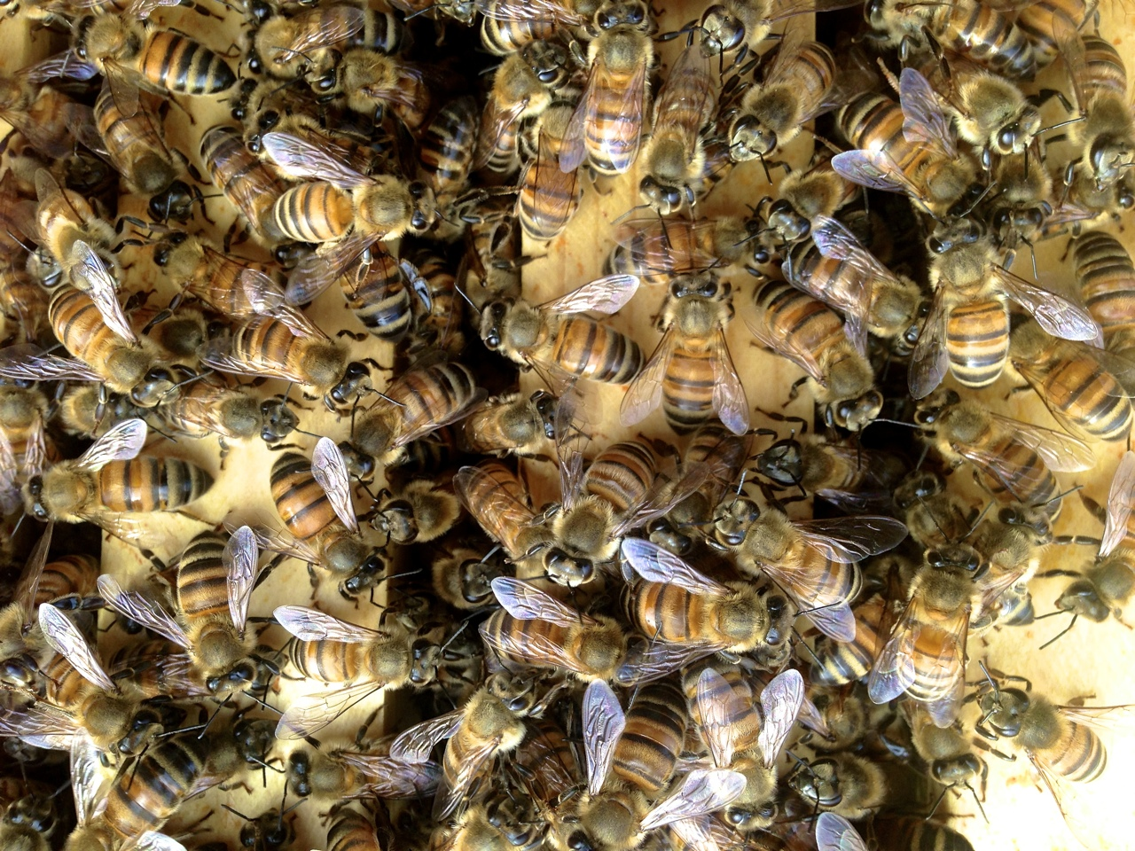 santa_barbara_beekeepers_association_bees_3