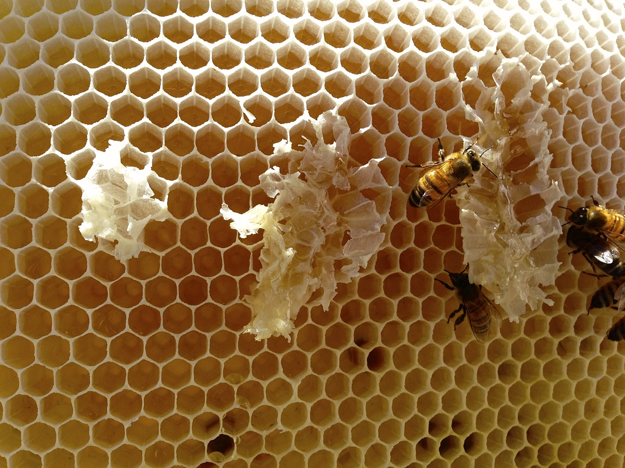 santa_barbara_beekeepers_association_bees_8