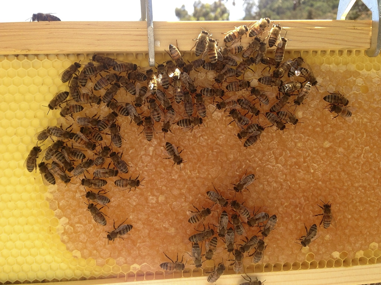 santa_barbara_beekeepers_association_bees_9
